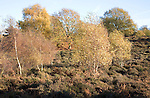 Heathland vegetation in autumn Suffolk Sandlings England
