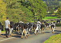 Moving the commercial black and white milking herd to graze closer to home before milking on R. C. Whitehead's Ashington Farm, West Burton, North Yorkshire.