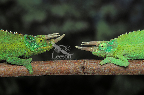 JACKSON'S CHAMELEON. Adult males in dominance display..Eastern Africa & Introduced to Hawaii. Captive..(Chamaeleo jacksonii).