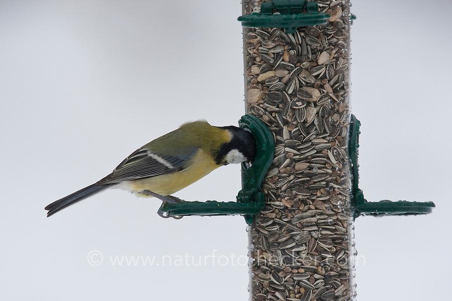 Kohlmeise, an der Vogelfütterung, Fütterung im Winter bei Schnee, mit Körnern gefüllten Futtersilo, Winterfütterung, Kohl-Meise, Meise, Parus major, great tit