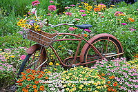 63821-22111 Old bicycle with flower basket in garden with zinnias,  Marion Co., IL