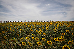 The peloton race by the sunflower fields during Stage 11 of the 2019 Tour de France running 167km from Albi to Toulouse, France. 17th July 2019.<br /> Picture: ASO/Pauline Ballet | Cyclefile<br /> All photos usage must carry mandatory copyright credit (© Cyclefile | ASO/Pauline Ballet)