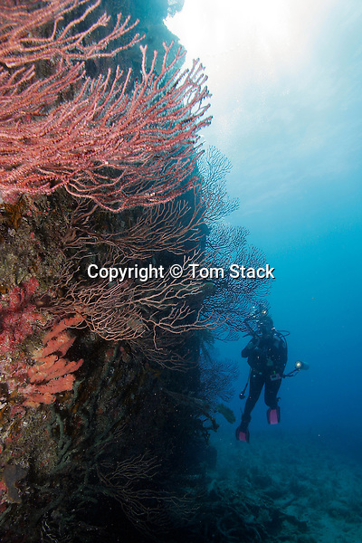 Coral, wreck of the Benwood, Key Largo