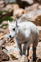 Mountain goat Kid portrait, this portrait was captured high on the Beartooth Highway near Red Lodge Montana.