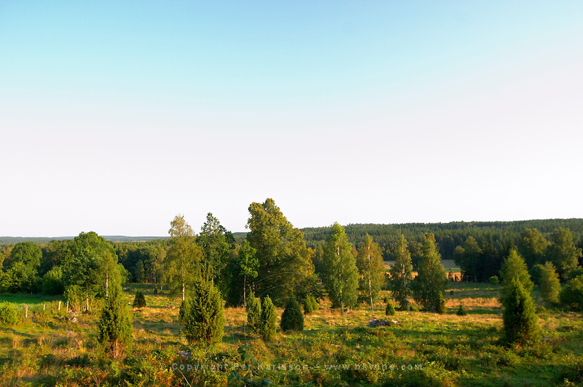 Grazing field with grass and juniper trees. Smaland region. Sweden, Europe.