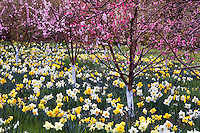 Spring flowering fruit trees in the Daffodil Meadow at Filoli Garden