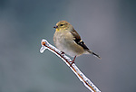 American Goldfinch, Carduelis tristis, winter plumage, perched on frosted branch,