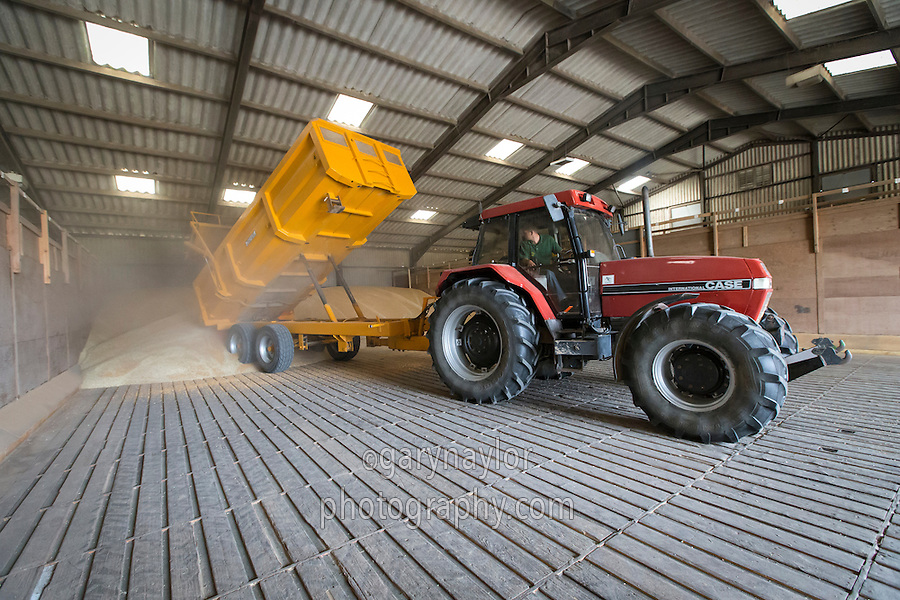Tractor & trailer tipping wheat into store with ventilated floor - August, Lincolnshire
