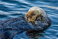 Sea Otter (Enhydra lutris). California coast.