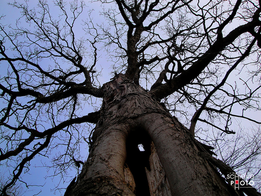 Hollowed out hickory tree.