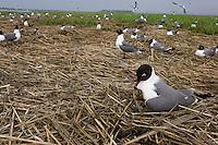 Laughing Gull colony; Larus atricilla; nesting in salt marsh; Stone Harbor, Cape May Co., NJ