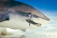 tiger shark, Galeocerdo cuvier, biting a remora, note nictitating membrane is up for eye protection, Tiger Beach, West End, Grand Bahama, Bahamas, Caribbean Sea, Atlantic Ocean