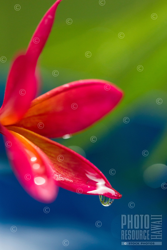 A plumeria flower with a raindrop on O'ahu.
