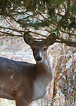 Deer seen along the Meadow Paths Trail at the Esopus Bend Nature Preserve in Saugerties, NY, Saturday, March 3, 2018. Photo by Jim Peppler. Copyright/Jim Peppler/2018.