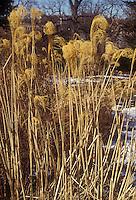 Miscanthus sinensis 'Variegatus' ornamental grass in winter snow seed heads