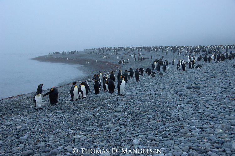 King Penguin colony at Royal Bay on South Georgia.