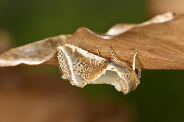 Buff Arches - Habrosyne pyritoides