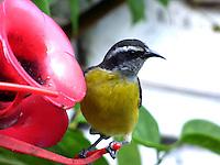 CALI - COLOMBIA, 30-06-2016: Mielerito, especie de ave presente en el norte de Cali. / Mielerito, bird species present in north of Cali Photo: VizzorImage / Dario Ramirez / Cont.