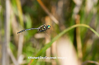 06544-00404 Hine's Emerald dragonfly (Somatochlora hineana) male in flight patrolling in Barton Fen, Reynolds Co., MO