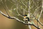 Green Kingfisher (Chloroceryle americana) female, Ibera Provincial Reserve, Ibera Wetlands, Argentina