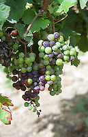 Unripe grapes. Veraison, grape colouring. Merlot vines. Chateau Jonqueyres, Bordeaux Superieur, Entre deux Mers, Bordeaux, France