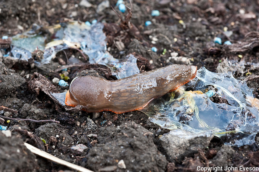 Slug (Arion ater agg) affected by eating slug pellets and losing slime in garden with pellets on soil.