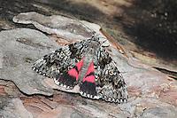 Light Crimson Underwing - Calocala primissa
