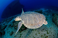 A Kemp's Ridley Sea Turtle, (Lepidochelys kempi), the world's rarest and smallest, makes an extremely rare appearance on a deep reef in Palm Beach, FL.