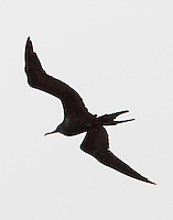 Adult male magnificent frigatebird
