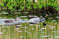 Norway, Stavanger. Mallard couple.