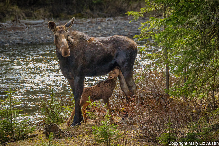 Yellowstone National Park, WY: Cow Moose and nursing calf (Alces alces)