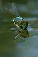 Große Pechlibelle, Weibchen bei der Eiablage, Pech-Libelle, Ischnura elegans, common ischnura, blue-tailed damselfly, Common Bluetail, female, oviposition, egg deposition, Agrion élégant