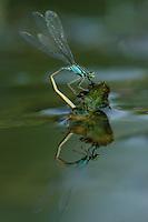 Große Pechlibelle, Weibchen bei der Eiablage, Pech-Libelle, Ischnura elegans, common ischnura, blue-tailed damselfly, Common Bluetail, female, oviposition, egg deposition, Agrion élégant