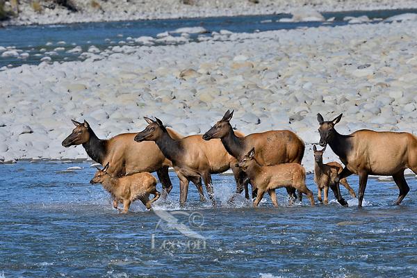 Roosevelt Elk (Cervus canadensis roosevelti) cows with calves, sometimes called Olympic Elk, fording river.  Olympic National Park, WA.  June.