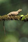 Anole (Anolis) lizard, Costa Rica.