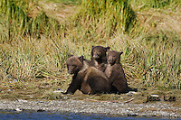 A picture of three grizzly cubs sitting along the shore. Grizzly Bear or brown bear alaska Alaska Brown bears also known as Costal Grizzlies or grizzly bears