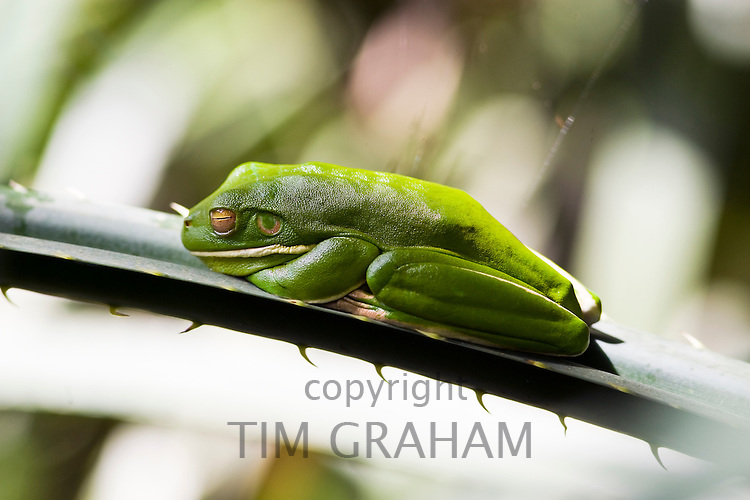 White-Lipped Green Tree Frog on palm leaf, Daintree Rainforest, Queenland, Australia