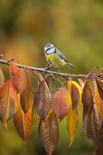 Blue Tit (Parus caeruleus), adult perched on autumn branch of Cherry tree (Prunus sp.), Oberaegeri, Switzerland, Europe