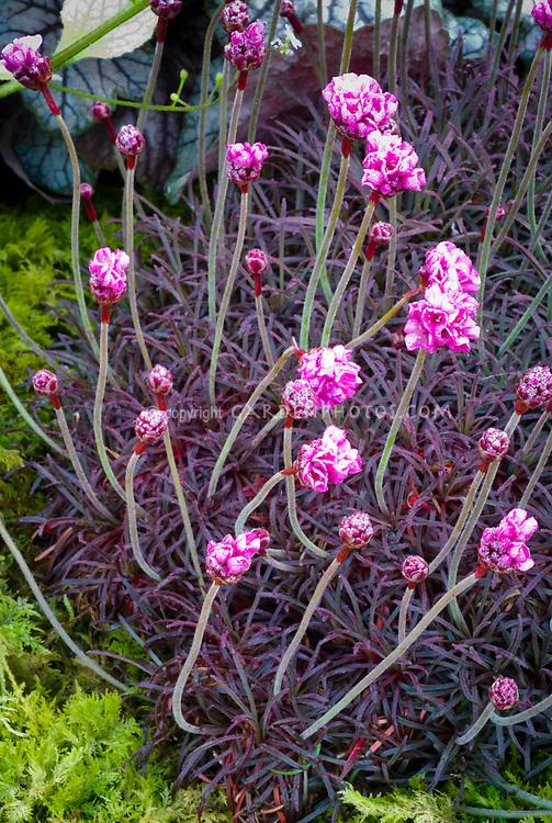 Armeria maritima rubrifolia sea pink plant flower stock armeria maritima rubrifolia purple red foliage plant with pink flowers in spring mightylinksfo