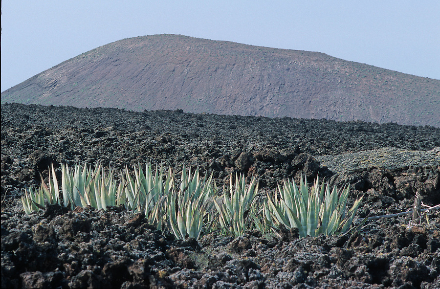 Aloes devant les volcans de Timanfaya. Ile de Lanzarote.