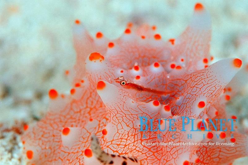 many host goby, Pleurosicya mossamica, on nudibranch, Halgerda malesso, Mabul Island, Borneo, Malaysia, Pacific Ocean