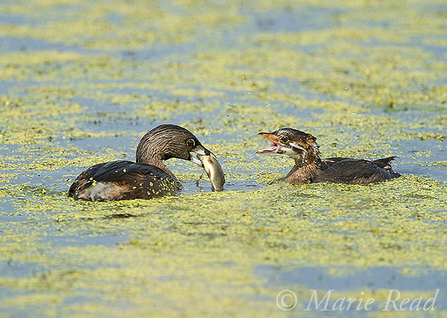 Pied-billed Grebes (Podilymbus podiceps) adult (on left) with fish to feed begging juvenile (right), Montezuma National Wildlife Refuge, New York, USA.