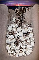 profile view of loggerhead sea turtle nest with eggs and hatchlings, Caretta caretta, endangered species, diorama