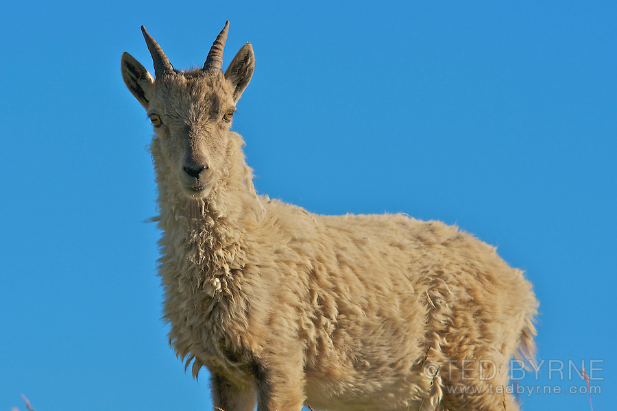 Mountain goat in the Swiss Alps