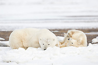 Polar bear sow and cub rest on a barrier island in the Beaufort Sea, Arctic National Wildlife Refuge, Alaska.