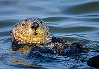 Southern sea otter or California sea otter Enhydra lutris nereis, adult, male, Monterey Bay National Marine Sanctuary, Monterey, California, USA, Pacific Ocean