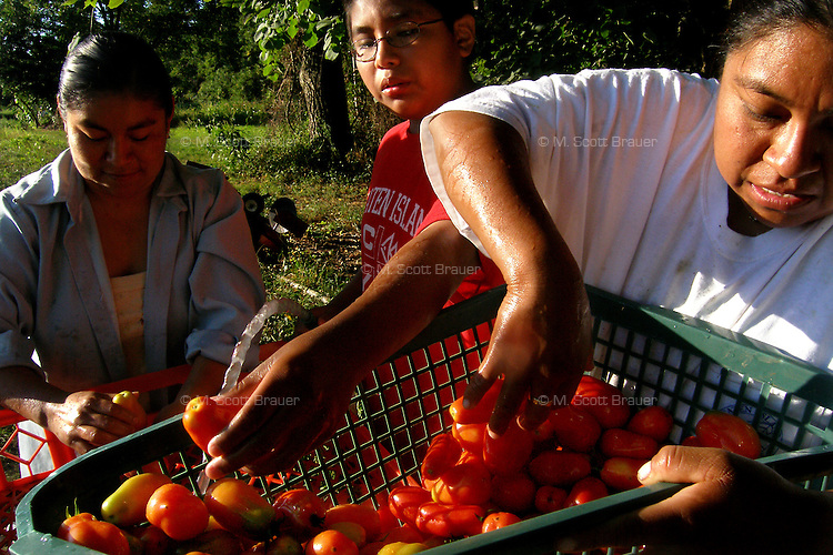 27 August 2005. Mexican immigrant family harvesting vegetables for market at the Staten Island Family Farm, a training farm for the New Farmer Development Project. Staten Island, NY.