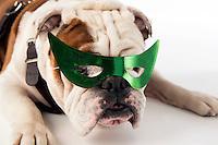 Champ (Bully) on white studio background - with superhero mask.<br /> (photo by Beth Wynn / &copy; Mississippi State University)