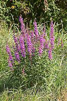 Blutweiderich, Blut-Weiderich, Lythrum salicaria, Purple Loosestrife, Spiked Loosestrife, Salicaire