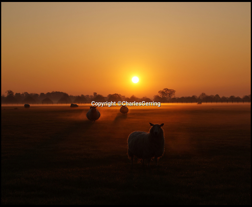 BNPS.co.uk (01202 558833)<br />Pic: CharlesGerring/BNPS<br /><br />Red sky in the morning...Shepherds quite happy!<br /> <br /> Blenheim Palace shepherd Charles Gerring captured some magical pictures of his flock yesterday morning as the sun rose over the lambing ewes on the Oxfordshire estate.